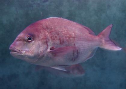 神秘の鯛は特別天然記念物